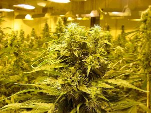 Jacksonville, FL. Marijuana Growers Insurance